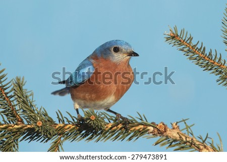 Male Eastern Bluebird (Sialia sialis) on an evergreen tree - stock photo