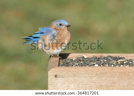 Male Eastern Bluebird (Sialia sialis) perched on a feeder - stock photo