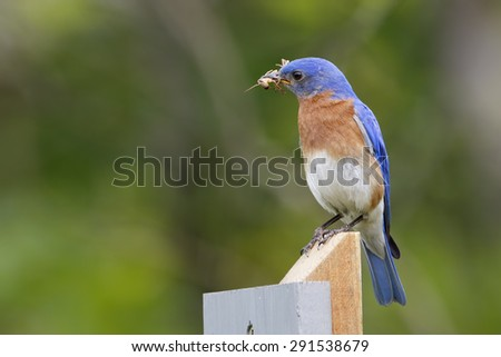 Male Eastern Bluebird (Sialia sialis) with a Grasshopper in its beak to feed to its offspring - Ontario, Canada - stock photo