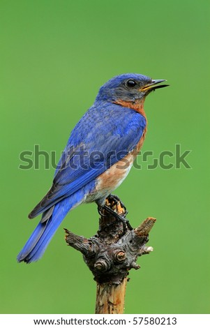 Male Eastern Bluebird (Sialia sialis) with a green background - stock photo