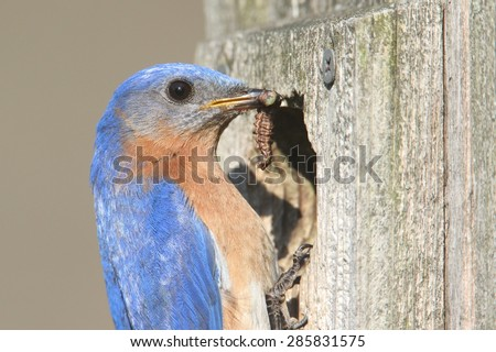 Male Eastern Bluebird (Sialia sialis) with a worm and a green background