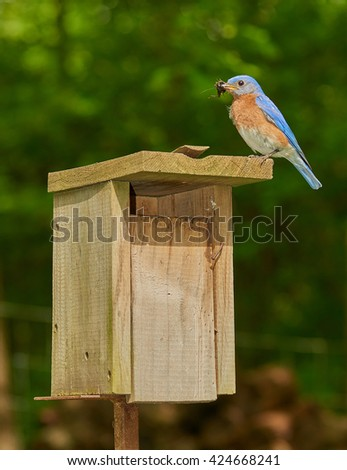 Male Eastern Bluebird with Chricket - stock photo