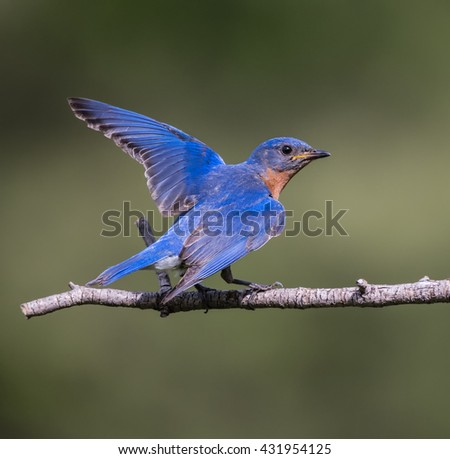 Male Eastern Bluebird with Open Wings - stock photo