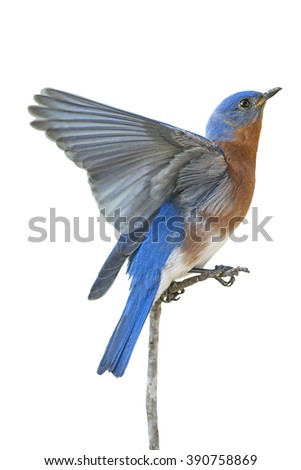 Male Eastern Bluebird with Wing Extended and Isolated on White Background - stock photo