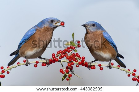 Male Eastern Bluebirds on Holly Branch - stock photo