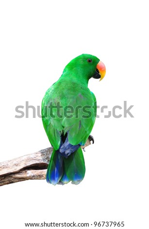 Male eclectus parrot isolated on white - stock photo
