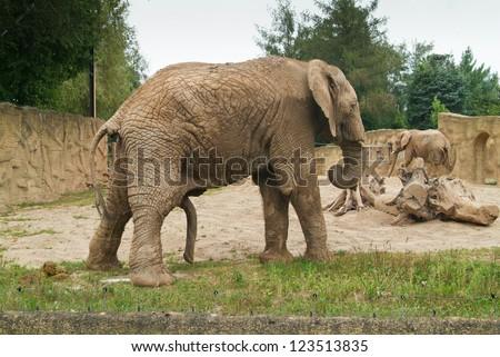 Male elephant erection - stock photo