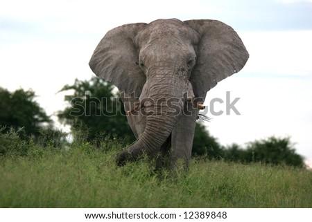 Male elephant going through the grass. Etosha national park. Botswana. Africa - stock photo