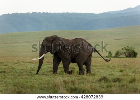 Male elephant in the african savanna - stock photo
