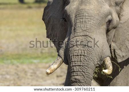 Male Elephant Portrait - stock photo