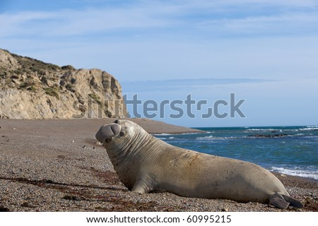 Male Elephant Seal - stock photo