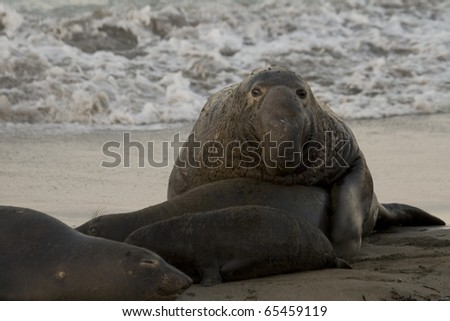 Male Elephant Seal attempting to mate with female on Beach in San Simeon - stock photo