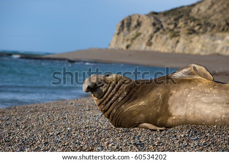 Male Elephant Seal in Patagonia