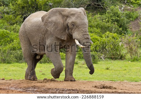male elephant walking toward a water hole in the morning head - stock photo