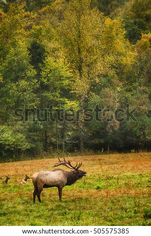 Male elk calling out while females lay nearby in Cataloochee Valley Smoky Mountains National Park North Carolina