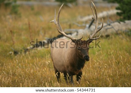 Male Elk in Yellowstone National Park in Wyoming