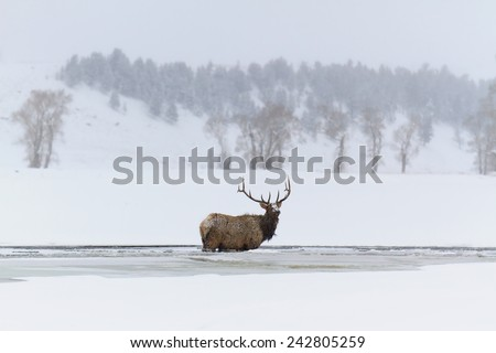Male elk standing in frozen river, Yellowstone National Park, MT. - stock photo