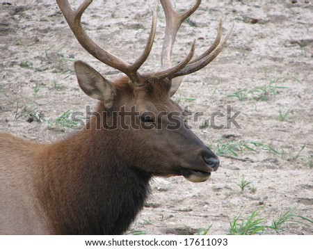 Male Elk with Antlers - stock photo