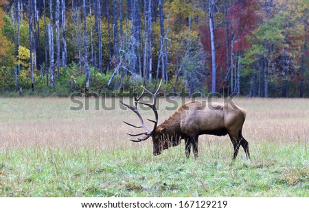 Male Elk with Antlers in a Field in the Mountains - stock photo