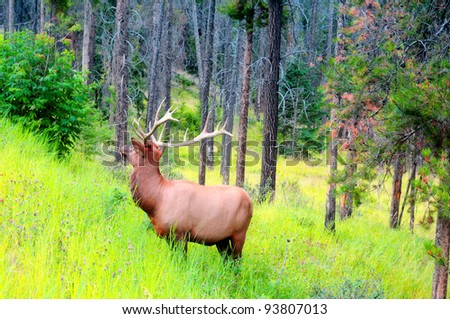 Male elk with large antlers in Banff National Park, Canada - stock photo