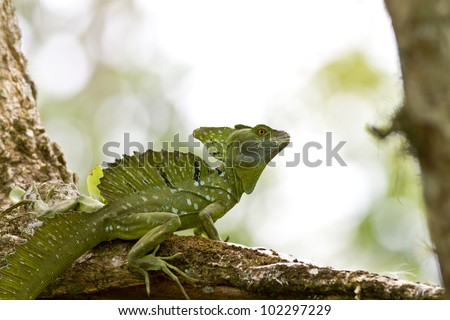 Male Emerald Basilisk, beautiful and ornate crested lizard, perched on a tree, Costa Rica - stock photo