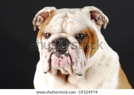 male english bulldog with bottom canines sticking out on black background