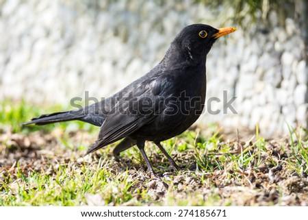 Male Eurasian common blackbird sitting on the ground - stock photo