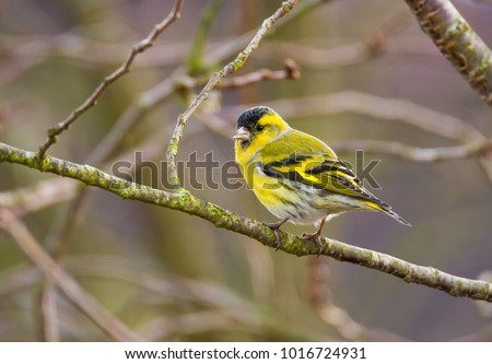 Male eurasian siskin bird sitting on the branch of a tree