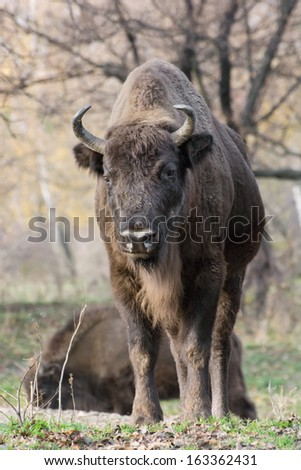 Male European bison (Bison bonasus) in the forest. - stock photo