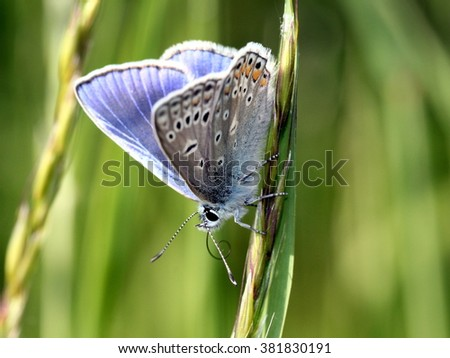 Male European Common Blue butterfly (Polyommatus icarus), wings partly opened, inner bright blue colors showing.