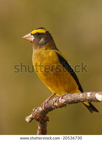 Male evening grosbeak (Coccothraustes vespertinus) posing on a branch. - stock photo