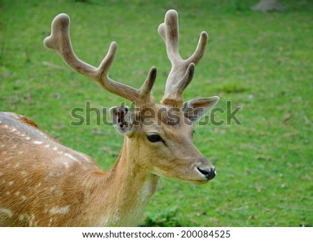 male fallow deer - stock photo