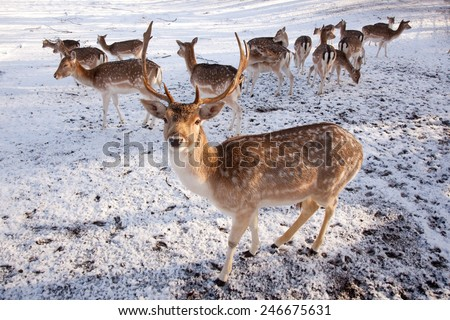 male fallow deer and group of females in the snow of a park in the netherlands - stock photo
