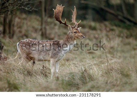 Male fallow deer at mating season - stock photo