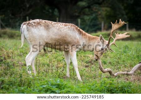 Male Fallow deer in a field - stock photo