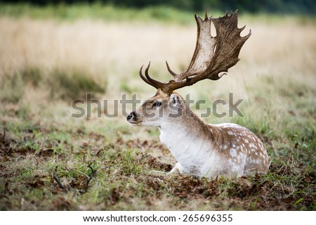 Male fallow deer is resting in the wild surrounded by a thick bush. The deer has white, grey and brow thick fur with beautiful white spots.  It has a pair of long dark brown antler. - stock photo