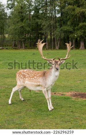 Male fallow-deer standing and looking straight at the camera  - stock photo