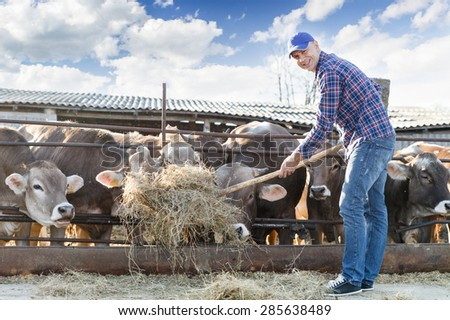 male farmer feeding cows hay outdoors