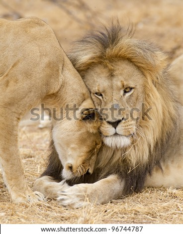 Male & female African Lion (Panthera leo), South Africa