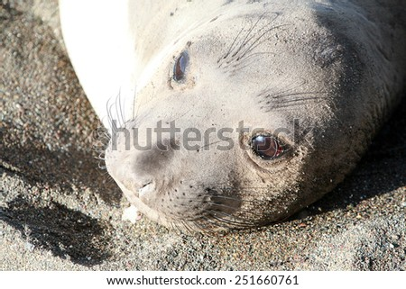 Male, Female and Baby, Elephant Seals enjoy life on the beach in San Simeon California. - stock photo