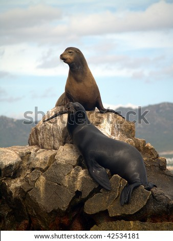 Male & female Sea Lions, which are California Seals seen on the southern most point of Land's End at the tip of the Baja in Mexico. - stock photo