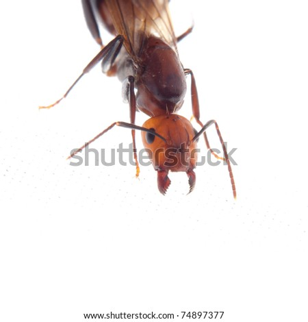 male fertile ant - stock photo