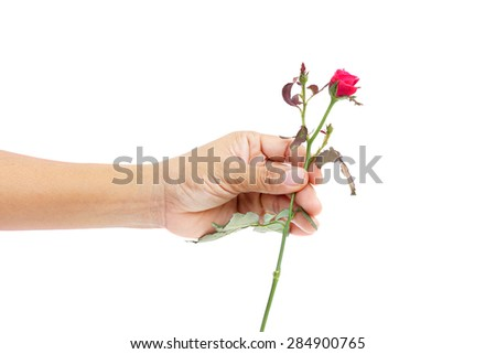 Male focus in hand.a rose isolated on white background.focus in hand.