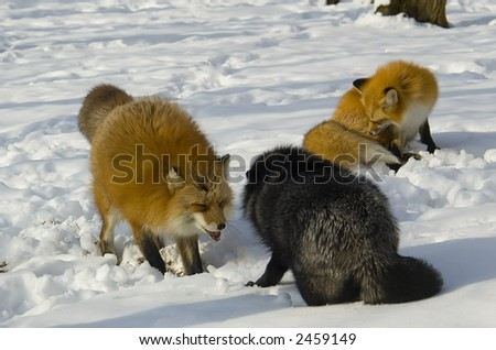 Male foxes competing for a female one