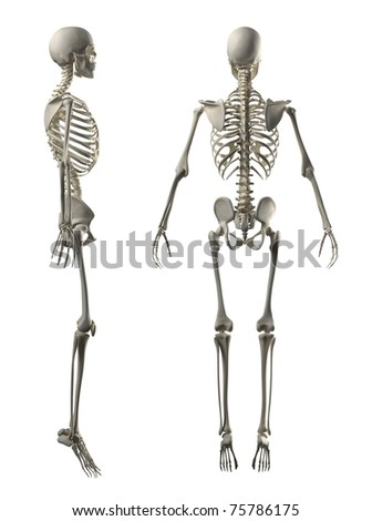 Male Full Skeleton Side and rear view - stock photo