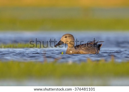 Male Gadwall (Anas strepera) swimming in wetland. The gadwall is a bird of open wetlands, such as prairie or steppe lakes, wet grassland or marshes with dense fringing vegetation - stock photo