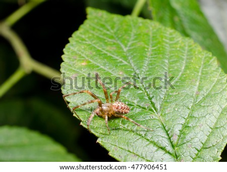 male garden cross spider