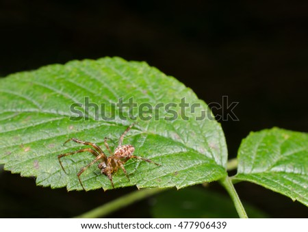 male garden cross spider (side view)