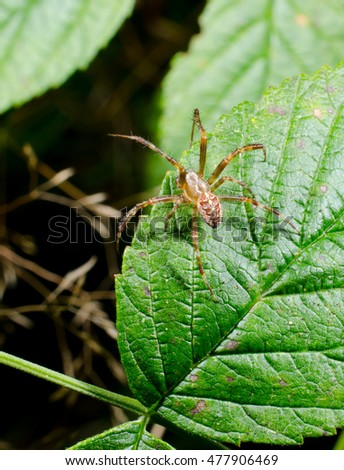 male garden cross spider (vertical macro crop)
