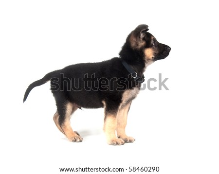 Male German Shepherd puppy on a white background - stock photo